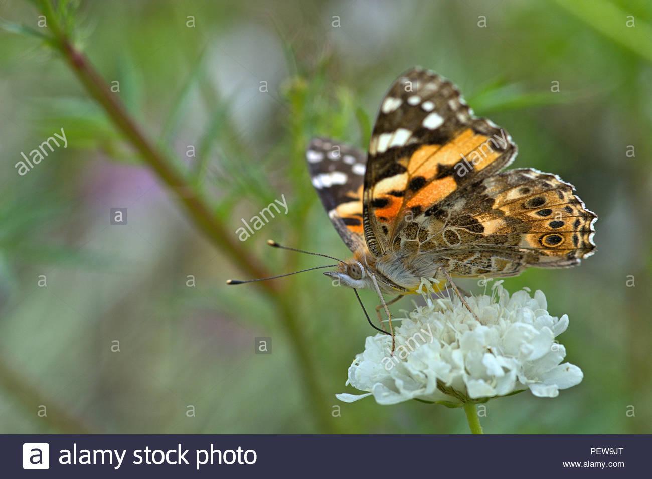 Ein Distelfalter (Vanessa cardui, Syn.: Cynthia cardui), ein Schmetterling aus der Familie der Edelfalter (Nymphalidae) auf einer Blüte. - Stock Image