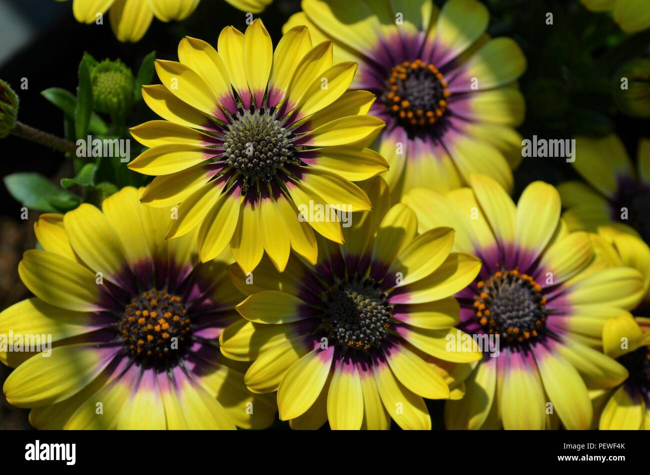 Beautiful Daisy Flowers With Purple And Yellow Color In The Sun