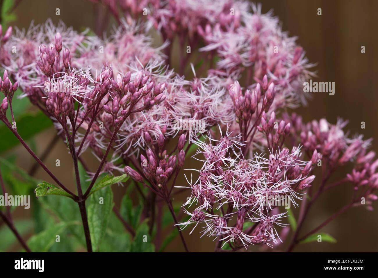 Eupatorium Maculatum 'Purple Bush' flowers - Stock Image