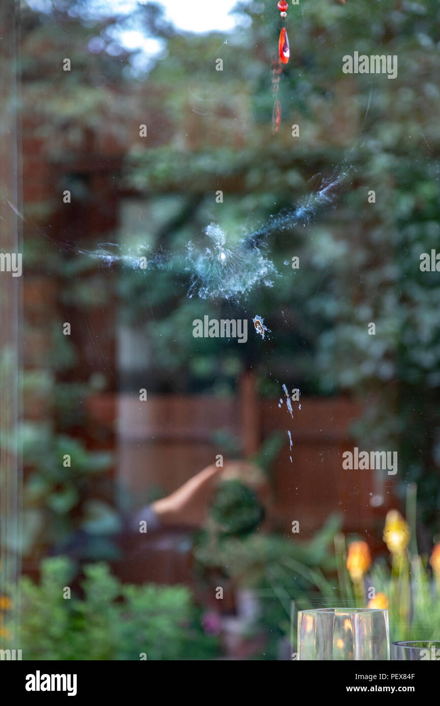 PIGEON FLEW INTO INTO A WINDOW - Stock Image