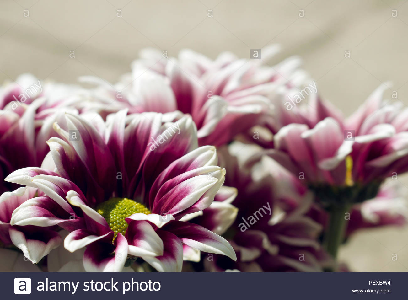 Pink Flowers White Edges Stock Photos Pink Flowers White Edges