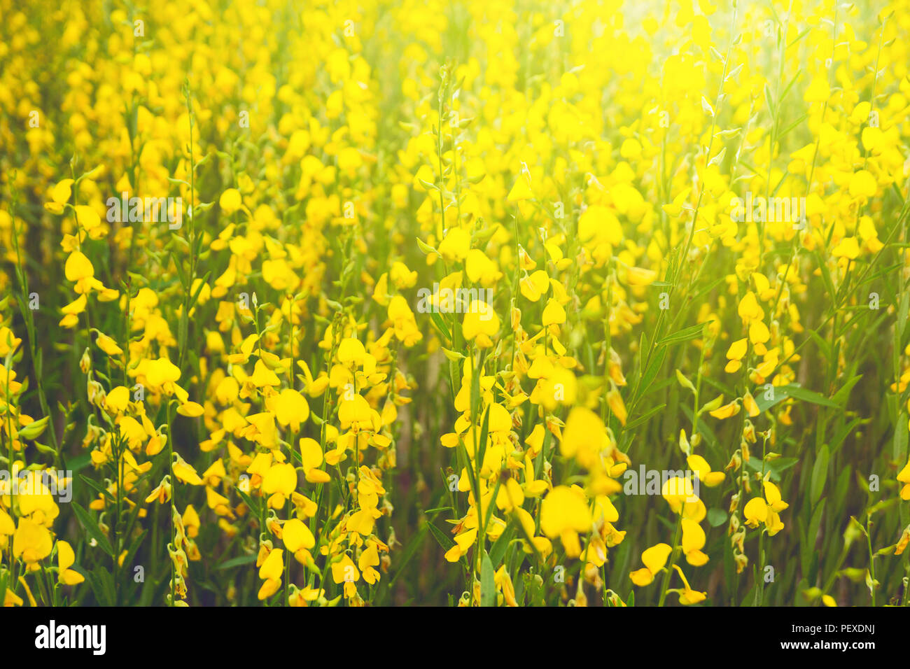 Farm of crotalaria yellow flower agriculture beautiful background farm of crotalaria yellow flower agriculture beautiful background mightylinksfo
