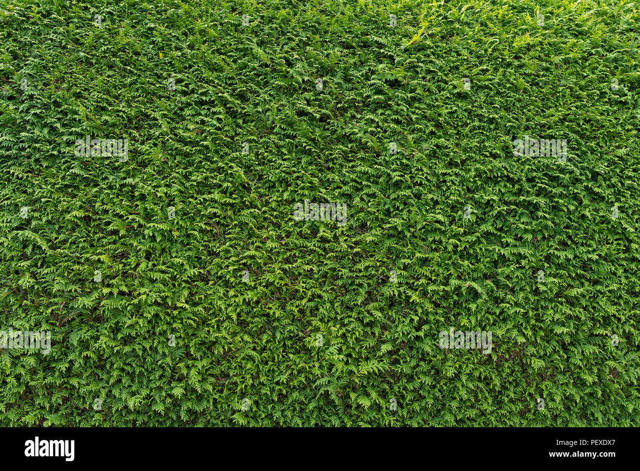 Big Green Wall Of Cupressus Tree As Background Texture