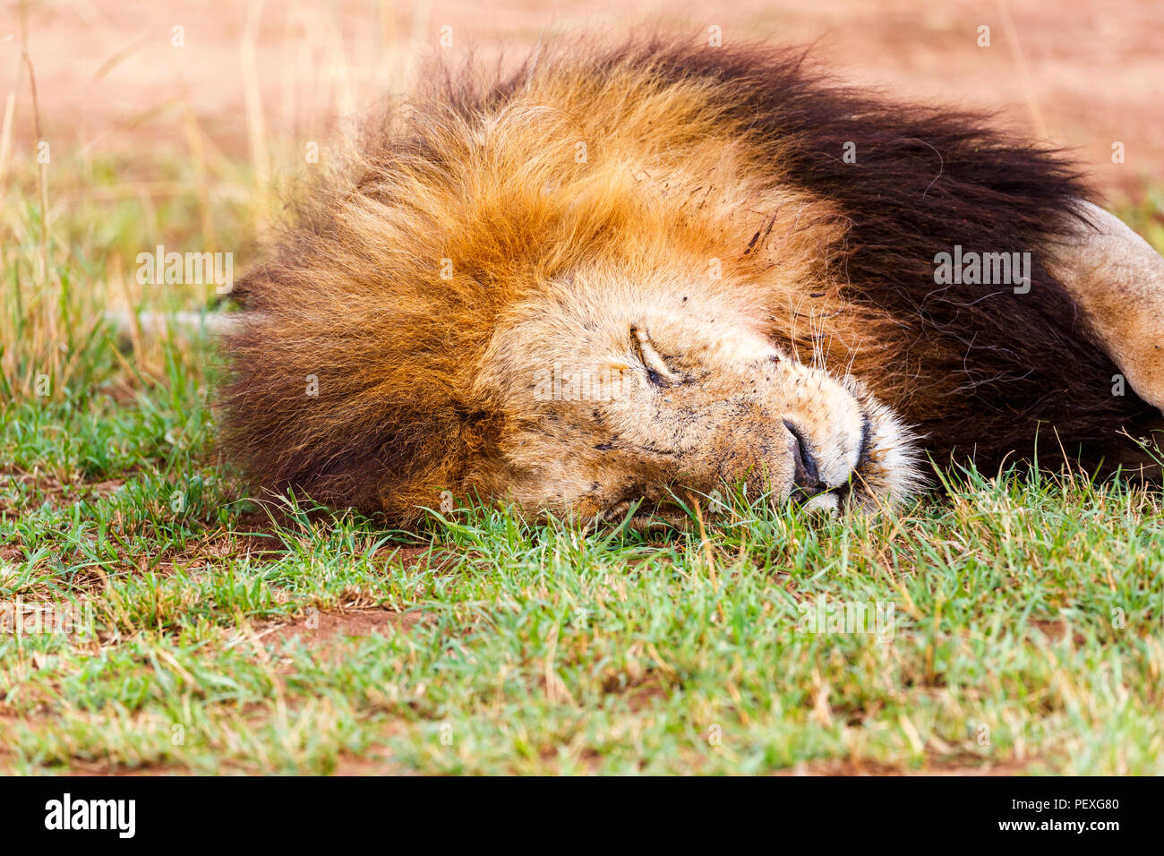 Close up view of the head of a dozing adult male Mara lion (Panthera leo) peacefully sleeping on grass in the daytime in the Masai Mara, Kenya - Stock Image