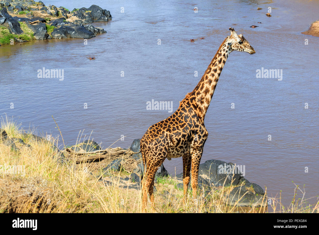 Tall male Masai giraffe (Giraffa camelopardalis tippelskirchi) uses his long neck to look out over the Mara River from the riverbank, Masai Mara Kenya - Stock Image