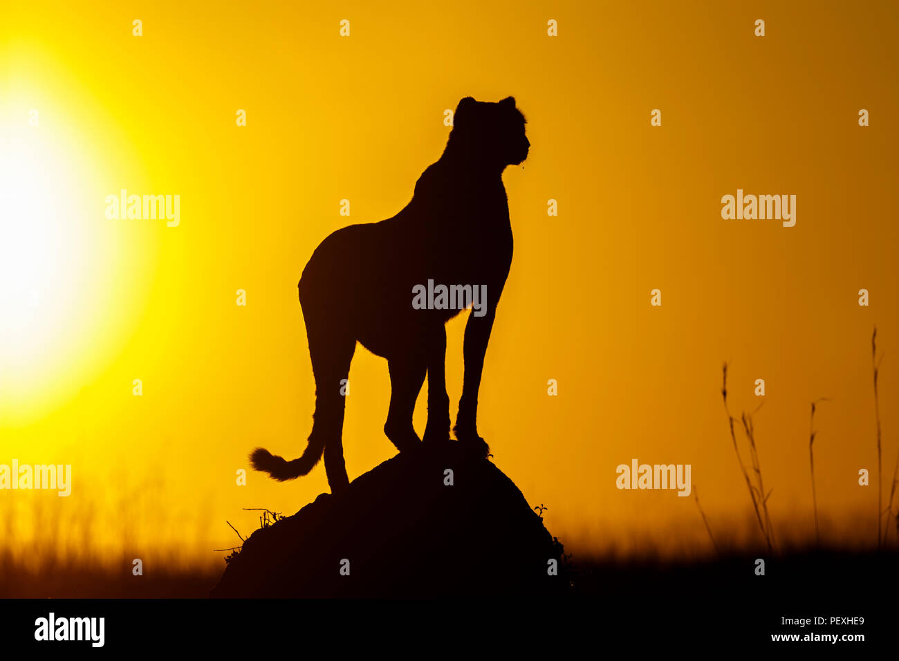 Adult female cheetah (Acinonyx jubatus) silhouetted by early morning sun stands watchful and alert in grassland, Masai Mara National Reserve, Kenya - Stock Image