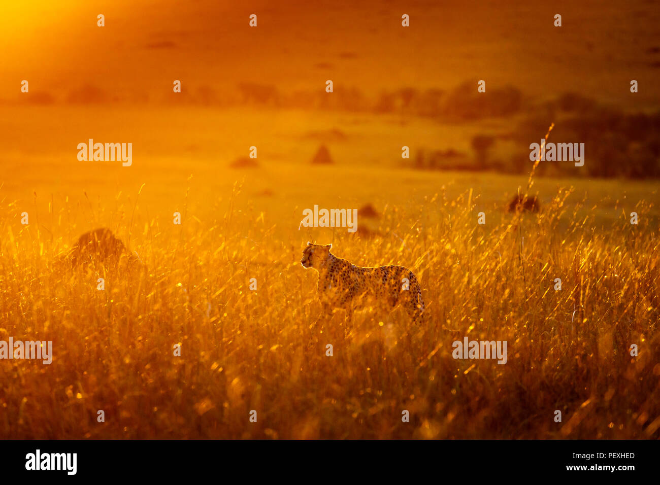 Adult female cheetah (Acinonyx jubatus) backlit by early morning sun stands watchful and alert in grassland in the Masai Mara National Reserve, Kenya - Stock Image