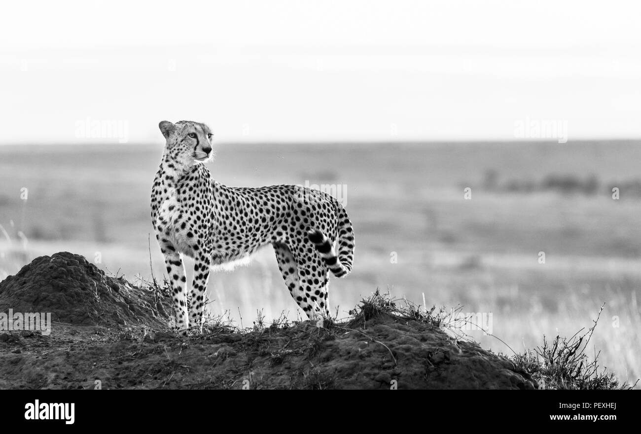 Adult female cheetah (Acinonyx jubatus) backlit by the early morning sun stands watchful and alert in grassland, Masai Mara National Reserve, Kenya - Stock Image