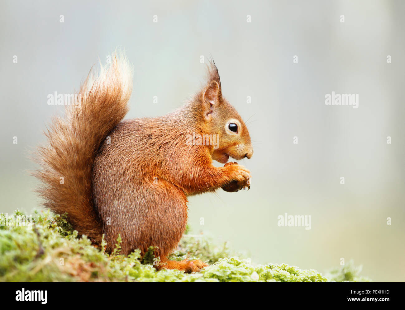 Isolated Eurasian red squirrel (Sciurus vulgaris) eating nut on a mossy log. - Stock Image