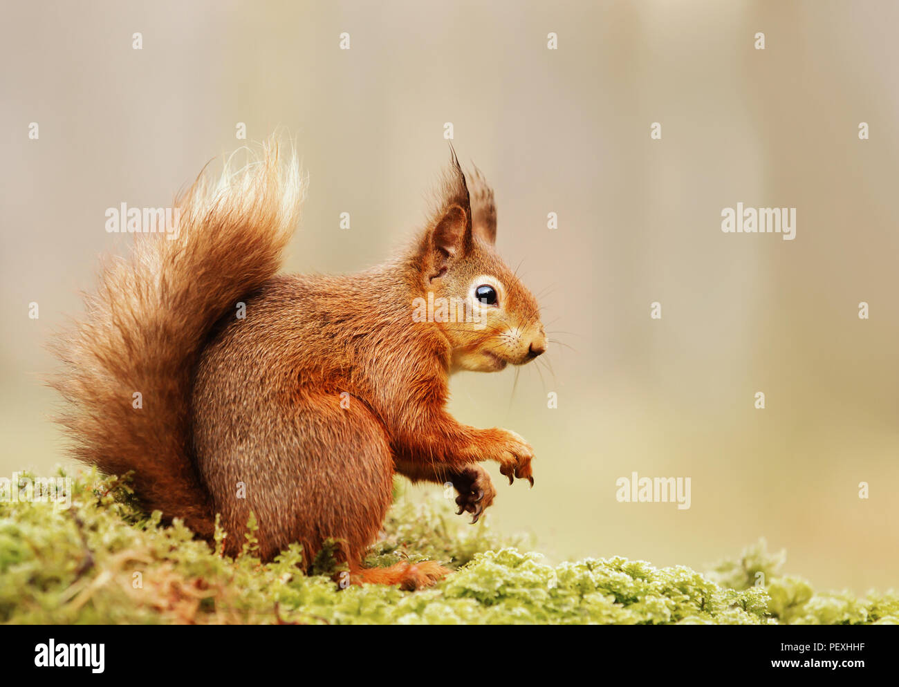 Isolated Eurasian red squirrel (Sciurus vulgaris) sitting on a mossy log. - Stock Image