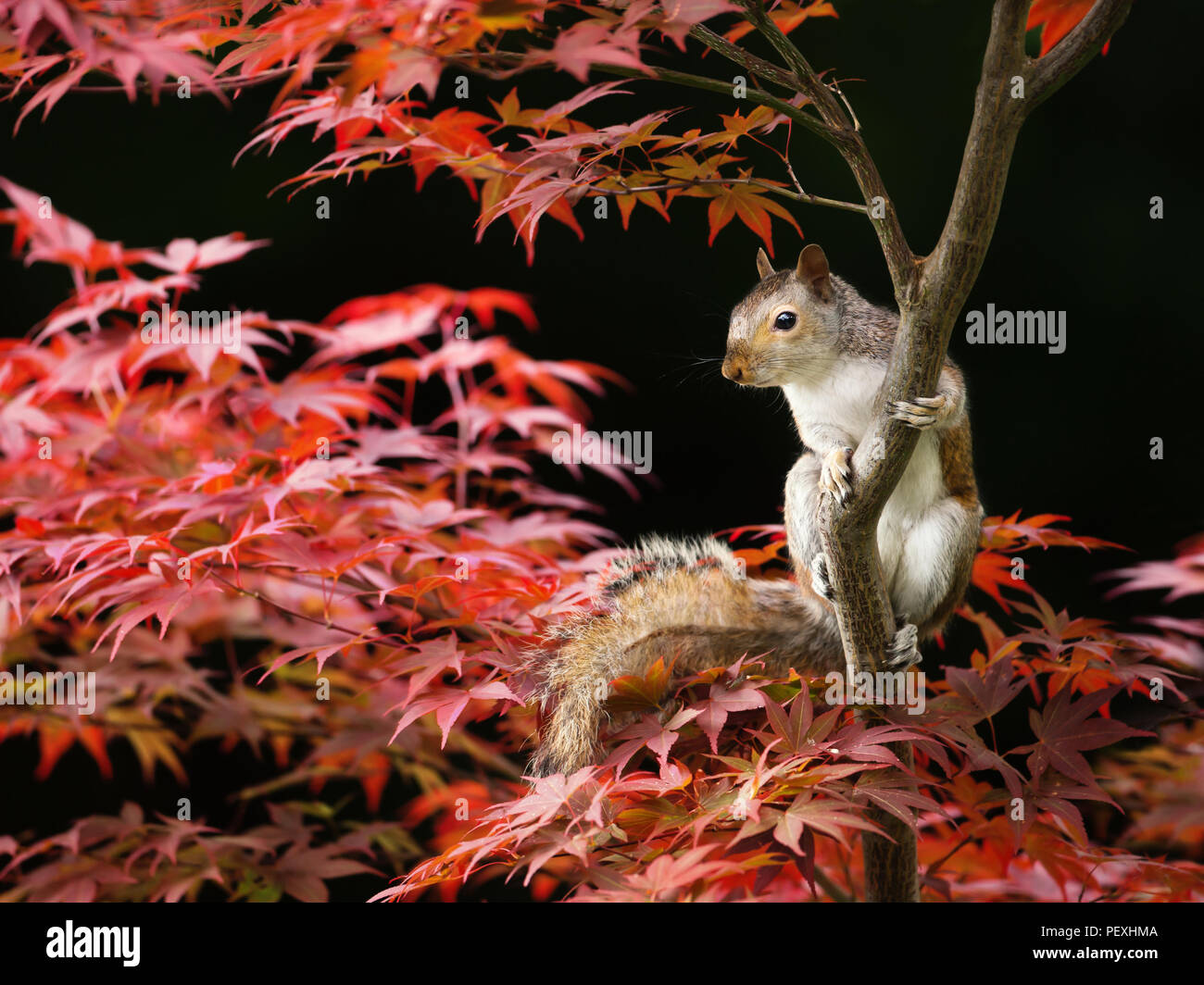 Close-up of a Grey Squirrel sitting on a colorful Japanese Maple tree in summer, UK. Stock Photo