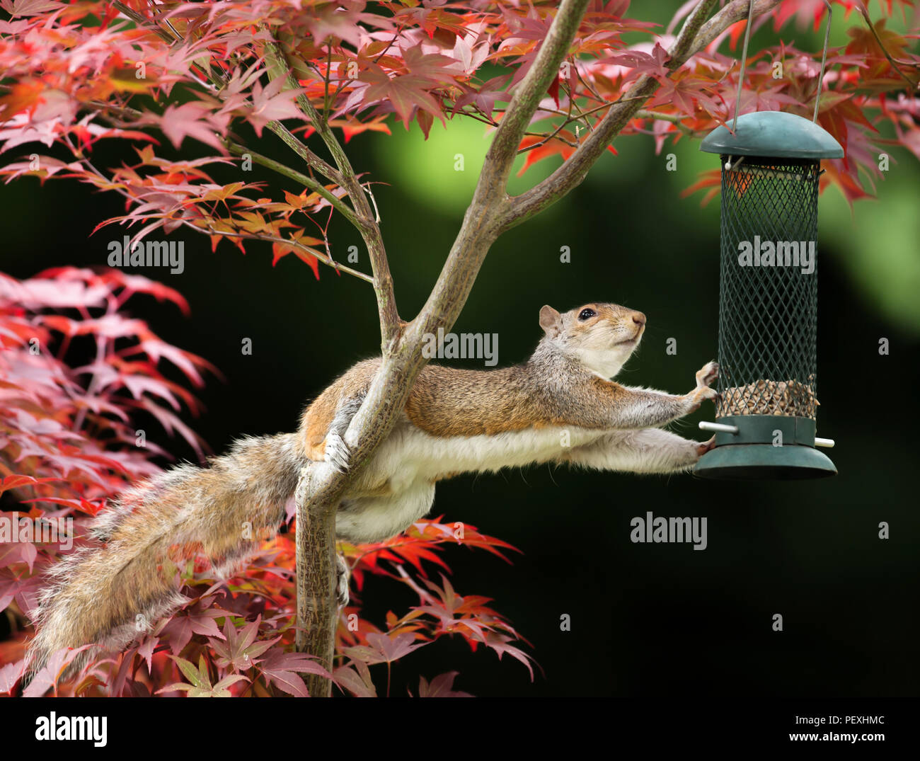 Close-up of a Grey Squirrel eating from a bird feeder on a colorful Japanese Maple tree - Stock Image