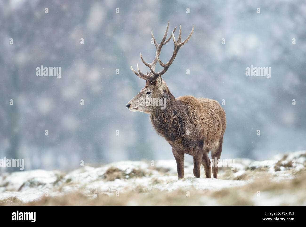 Close up of a Red deer stag standing on the ground covered with snow during winter in UK . - Stock Image