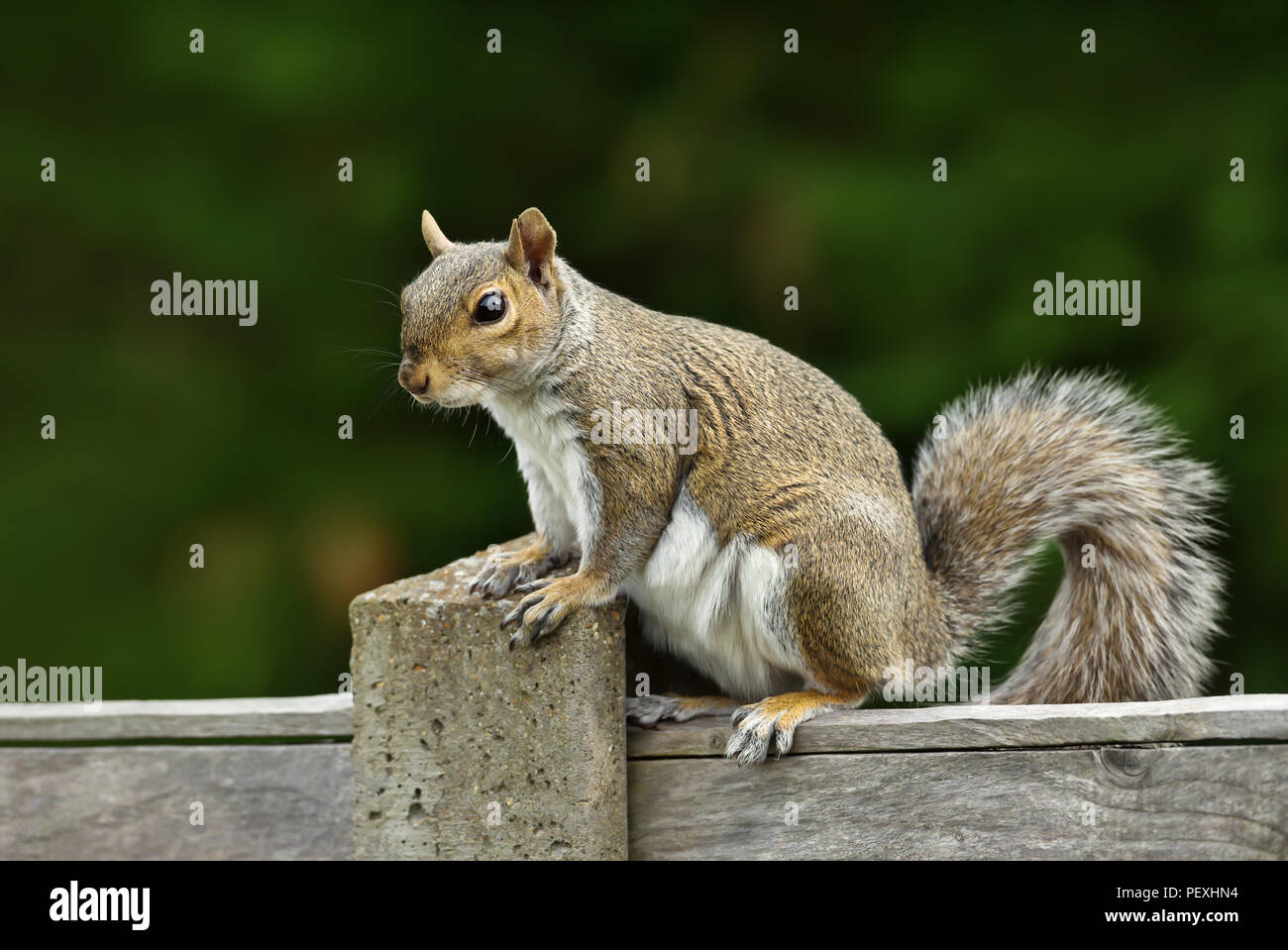 Close up of a grey squirrel sitting on a fence, UK Stock Photo