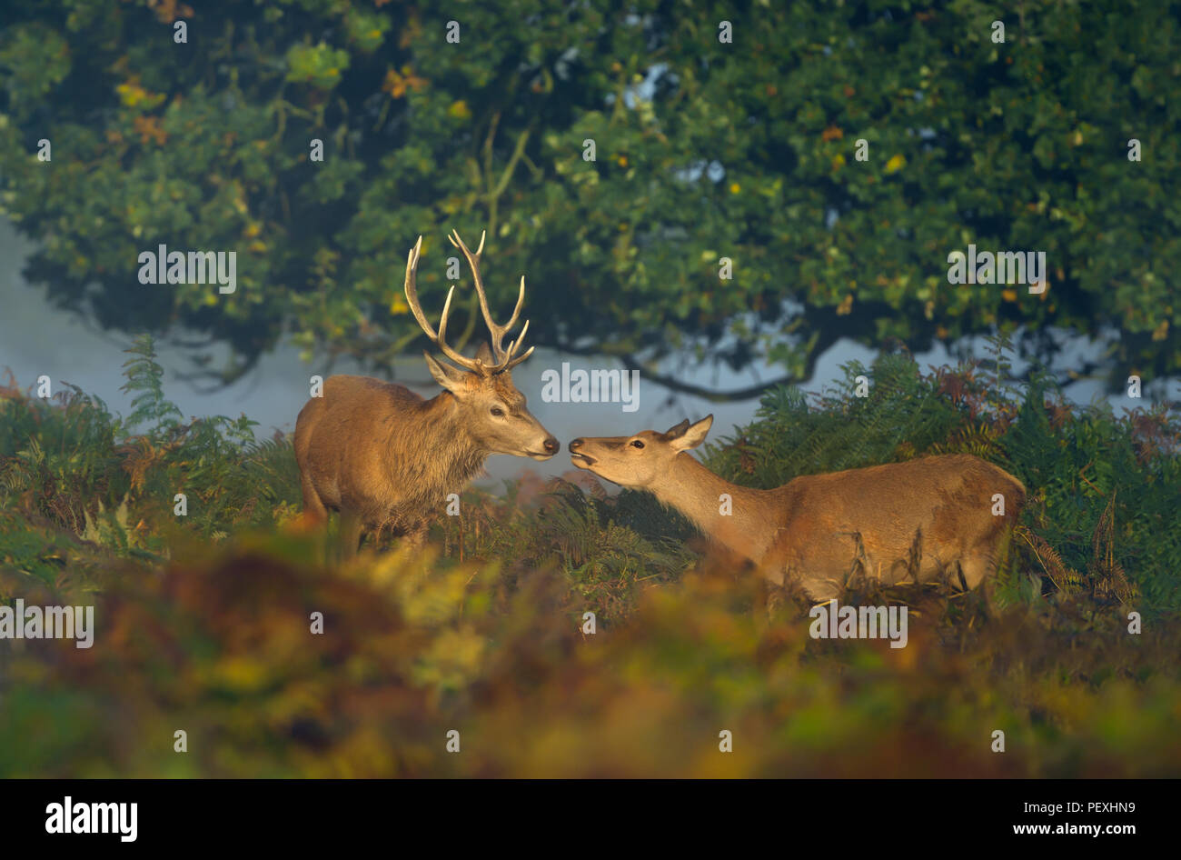 Close up of a red deer stag with a hind on a sunny misty morning in UK - Stock Image