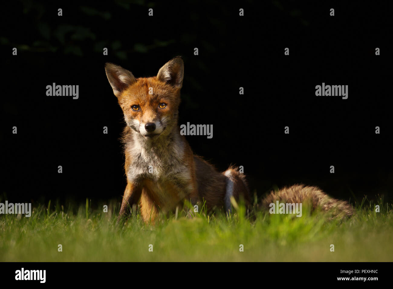 Close up of a red fox sitting on the grass against black background, England. - Stock Image