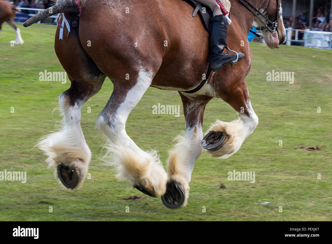 Turriff, Scotland - 06 Aug 2018: Riding Clydesdale Horses at the Turriff Agricultural Show - Stock Image
