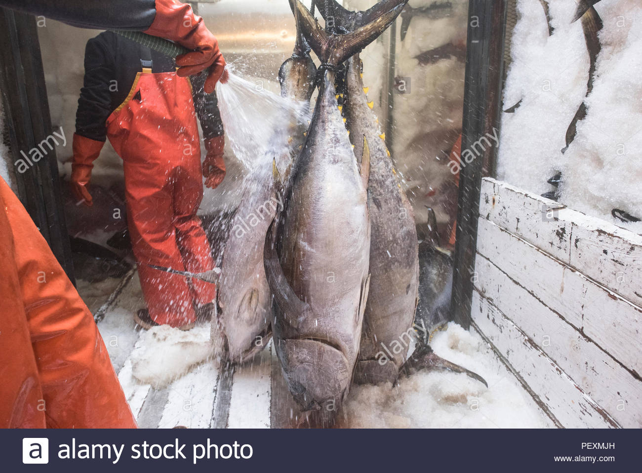 Fishermen cleaning yellowtail fish on fishing boat, San Diego, California, USA - Stock Image