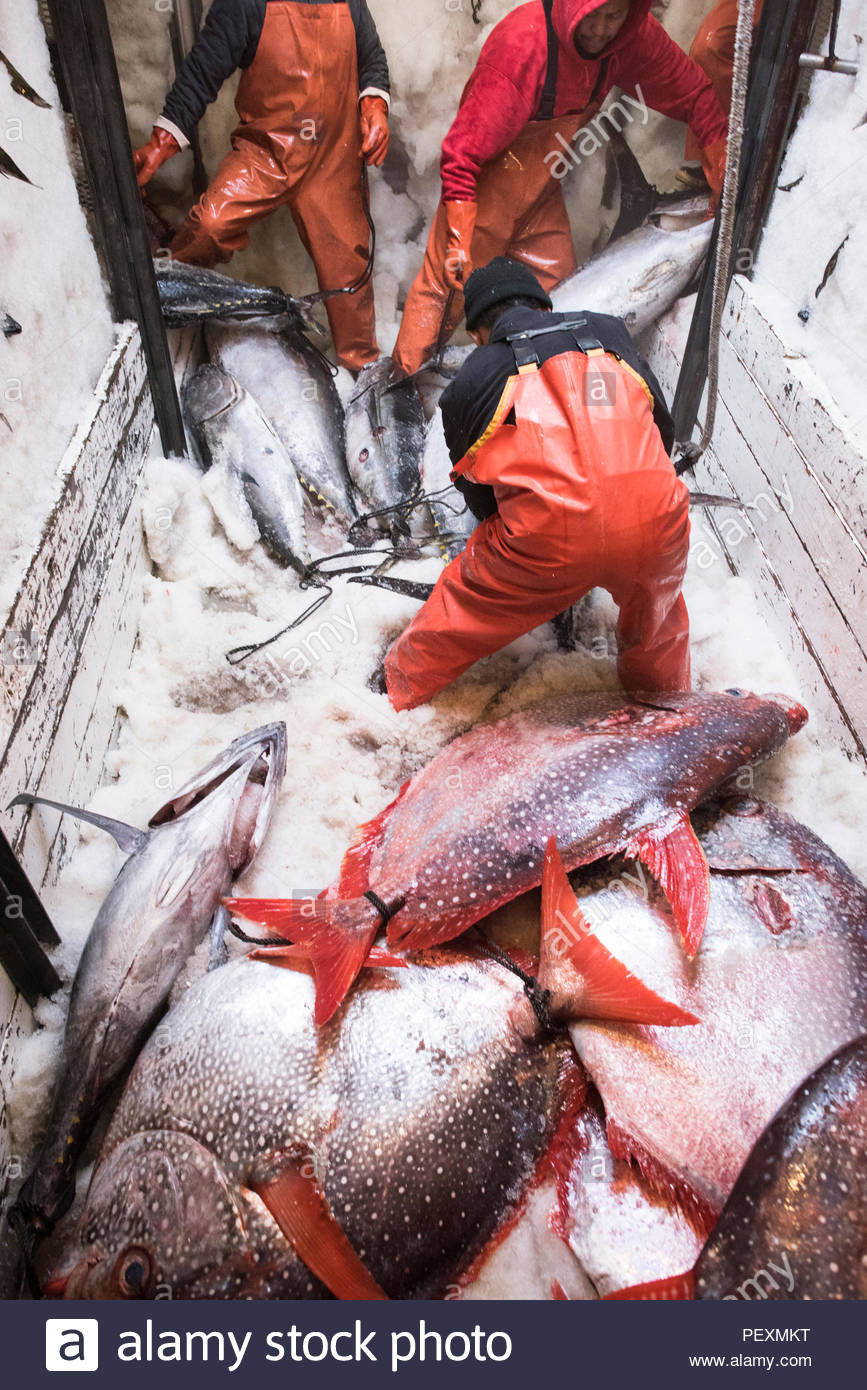 Deckhands moving fish around in freezer on fishing boat in San Diego, California, USA - Stock Image