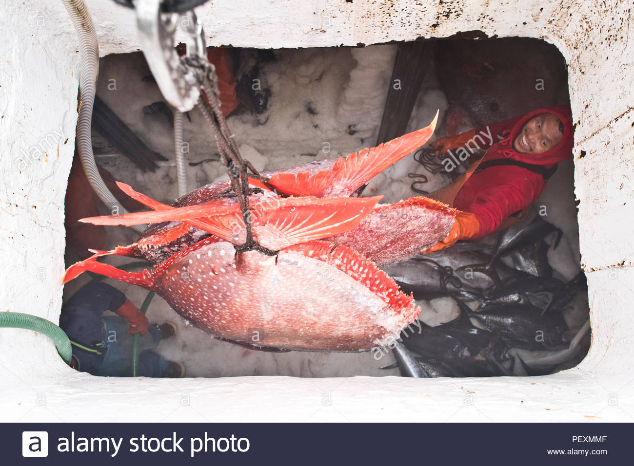 Opah offloading from fishing boat, San Diego, California, USA - Stock Image
