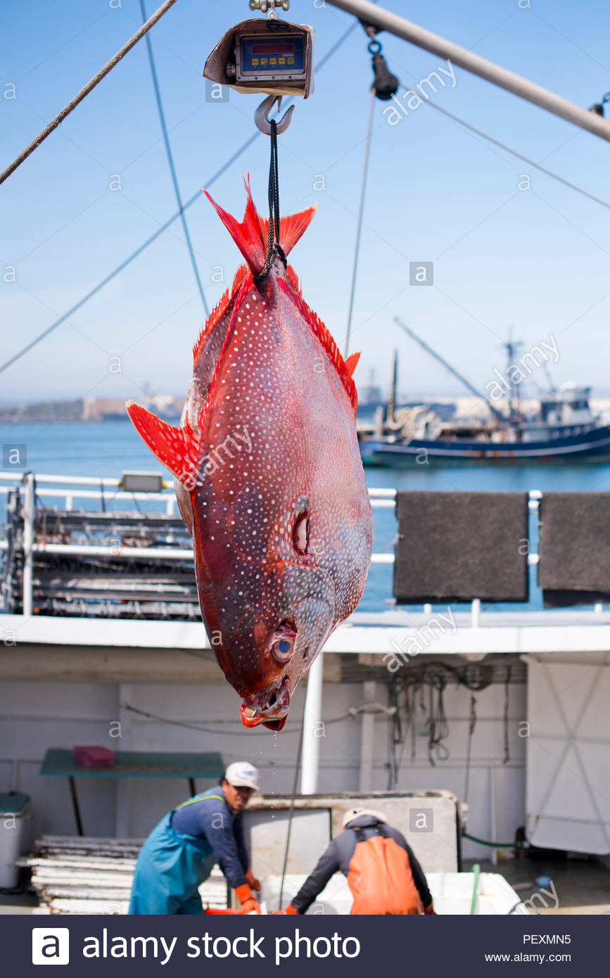 Opah hanging from scale on fishing boat, San Diego, California, USA - Stock Image