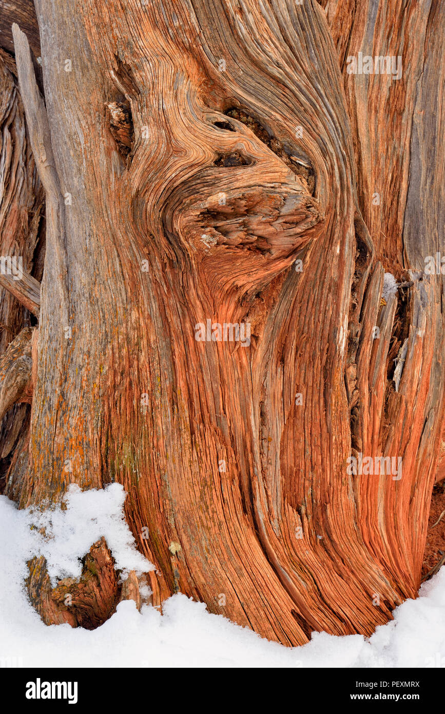 Gnarled juniper trunks in winter, Colorado National Monument, Colorado, USA - Stock Image
