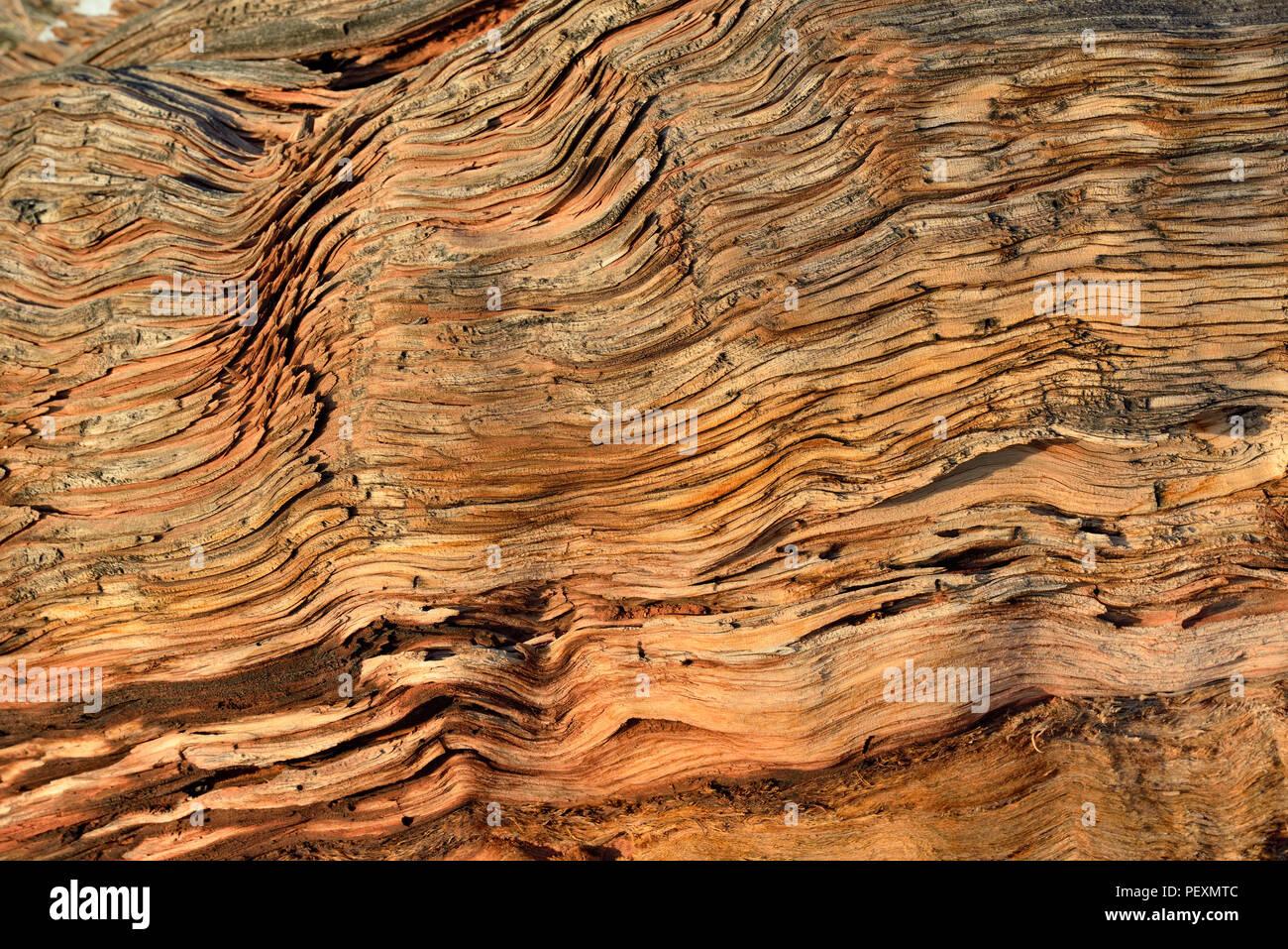 Juniper wood, Dead Horse Point State Park, Utah, USA - Stock Image