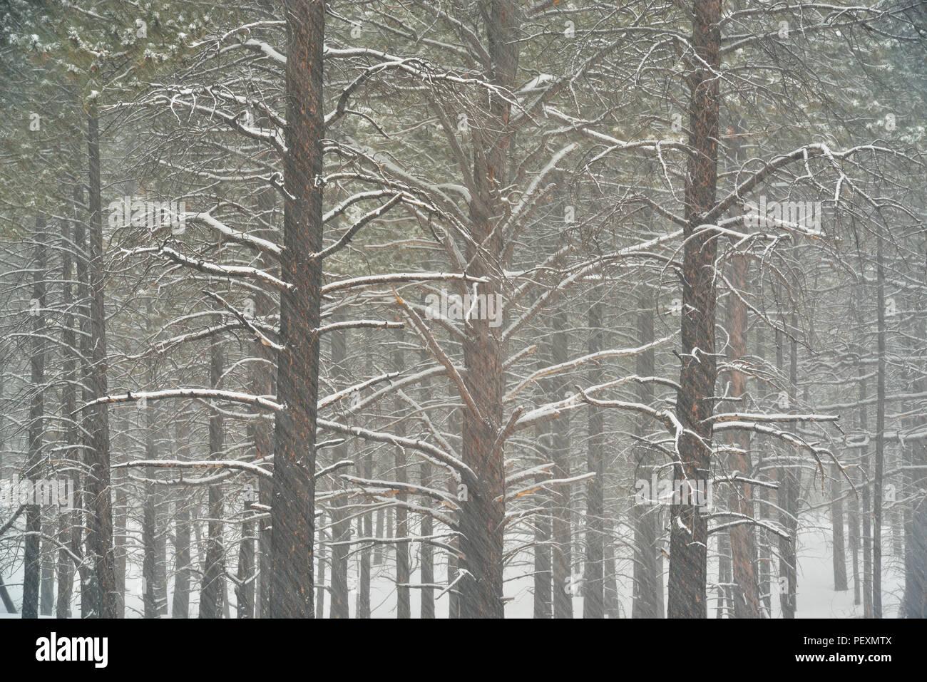 Ponderosa Pine (Pinus ponderosa) forest in winter, Bryce Canyon National Park, Utah, USA - Stock Image