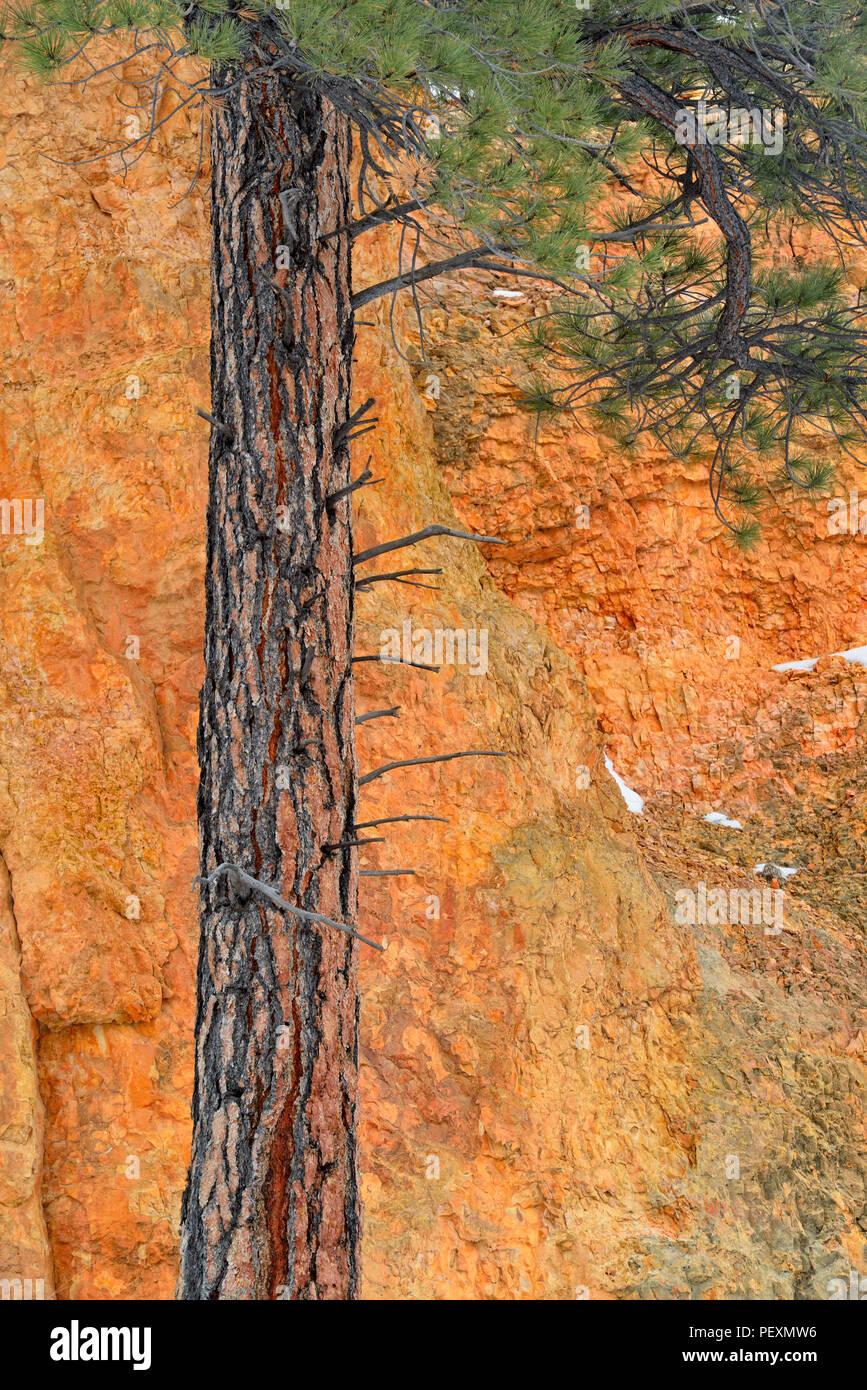 Ponderosa Pine (Pinus ponderosa) tree trunk, Bryce Canyon National Park, Utah, USA - Stock Image