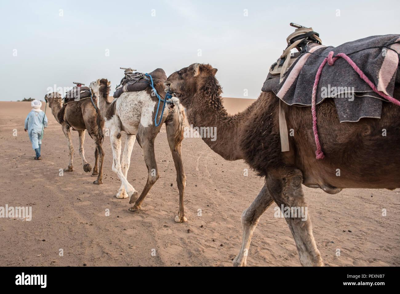 Camel train in Sahara Desert, Merzouga, Morocco - Stock Image