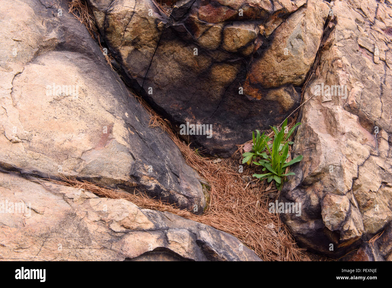 Rock outcrops and pine straw with hawkweed seedlings, Greater Sudbury, Ontario, Canada - Stock Image