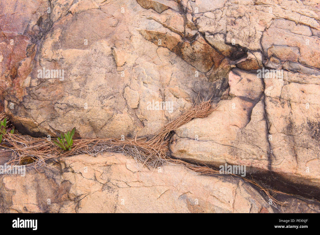 Rock outcrops and pine straw, Greater Sudbury, Ontario, Canada - Stock Image
