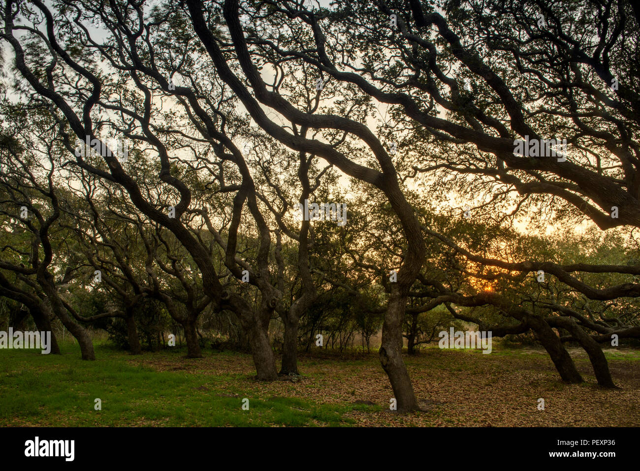 Southern live oak, Quercus virginiana, at dawn, Goose Island State Park, Texas, USA Stock Photo
