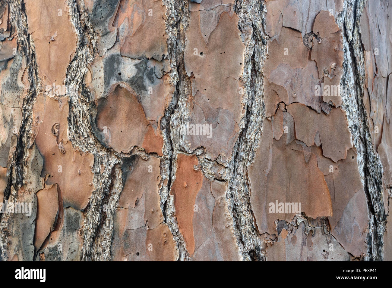 Longleaf pine (Pinus palustris) Tree bark, St. Marks NWR, Florida, USA - Stock Image