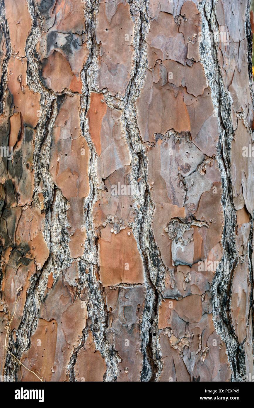 Longleaf pine (Pinus palustris) Tree bark, St. Marks NWR, Florida, USA - Stock Image