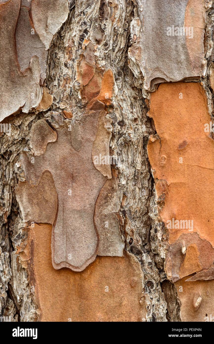 Loblolly Pine (Pinus taeda) bark, Big Branch NWR, Lacombe, Louisiana, USA - Stock Image