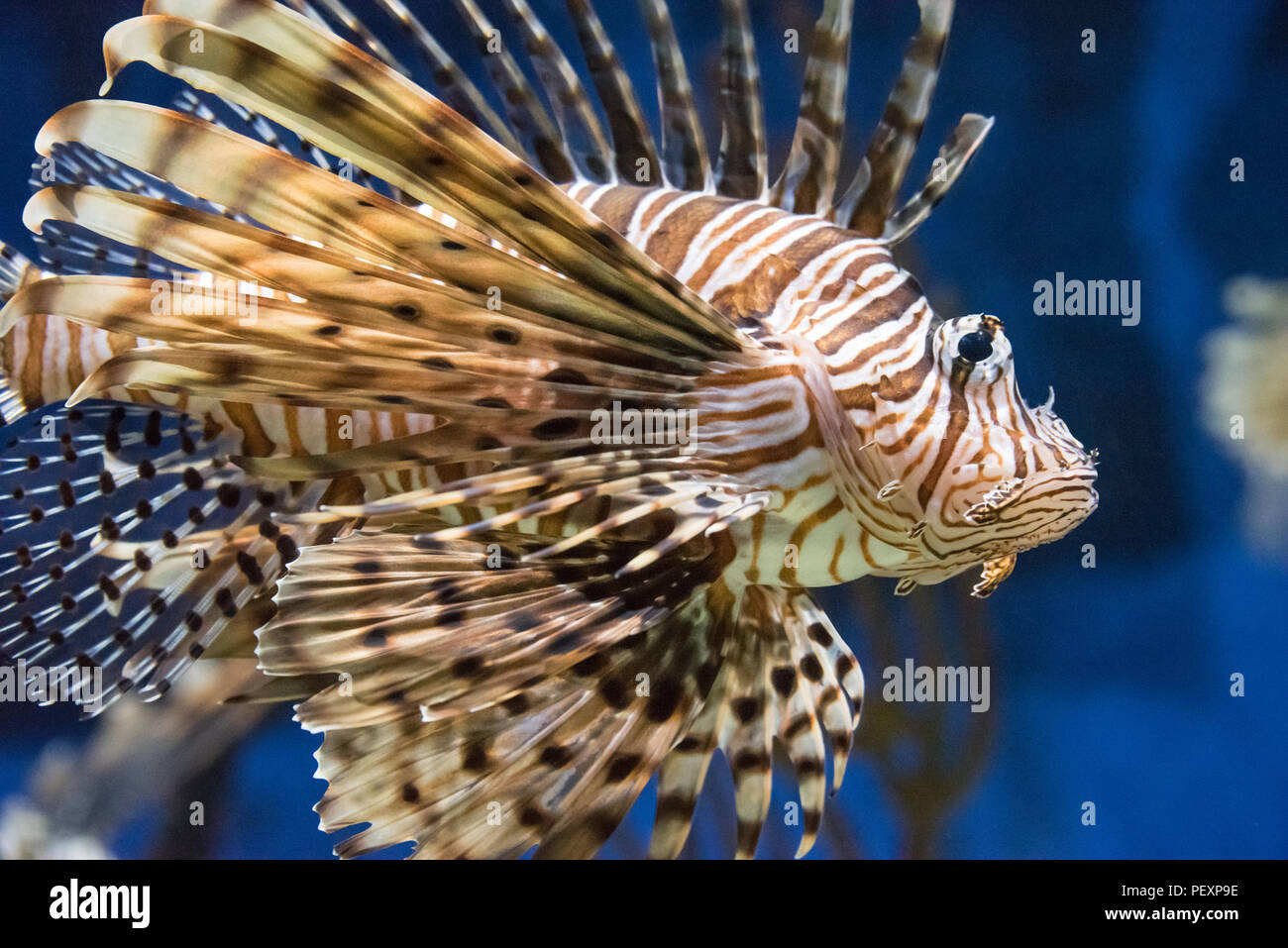 Red lionfish (Pterois volitans), a beautiful but venomous coral reef fish, at the Georgia Aquarium in Atlanta, Georgia. (USA) - Stock Image