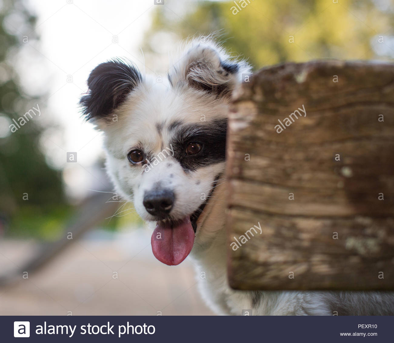 Close-up of white dog with black markings smiling and looking around log - Stock Image