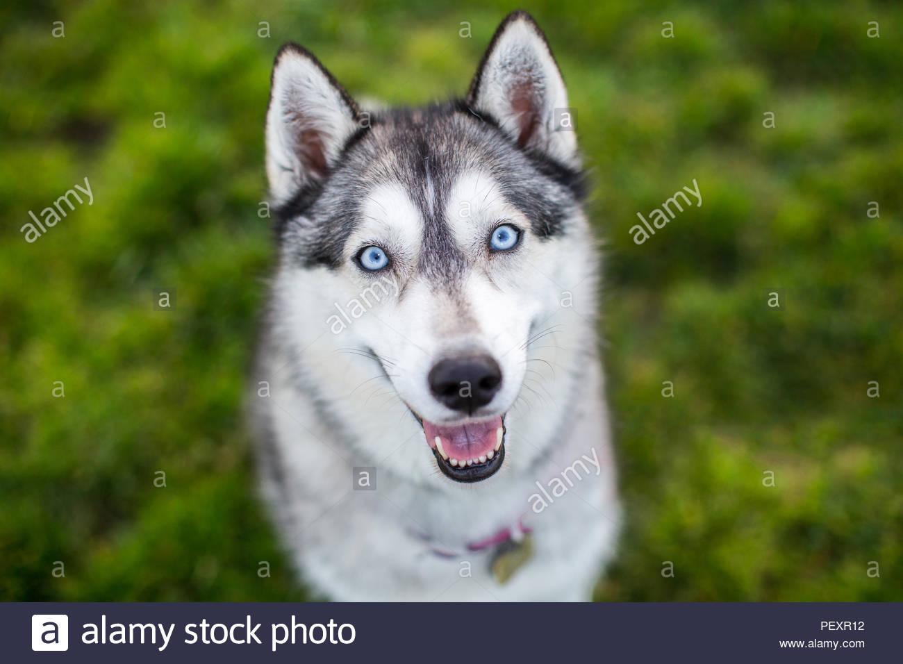 Smiling Siberian Husky with Blue Eyes Close-up Portait - Stock Image