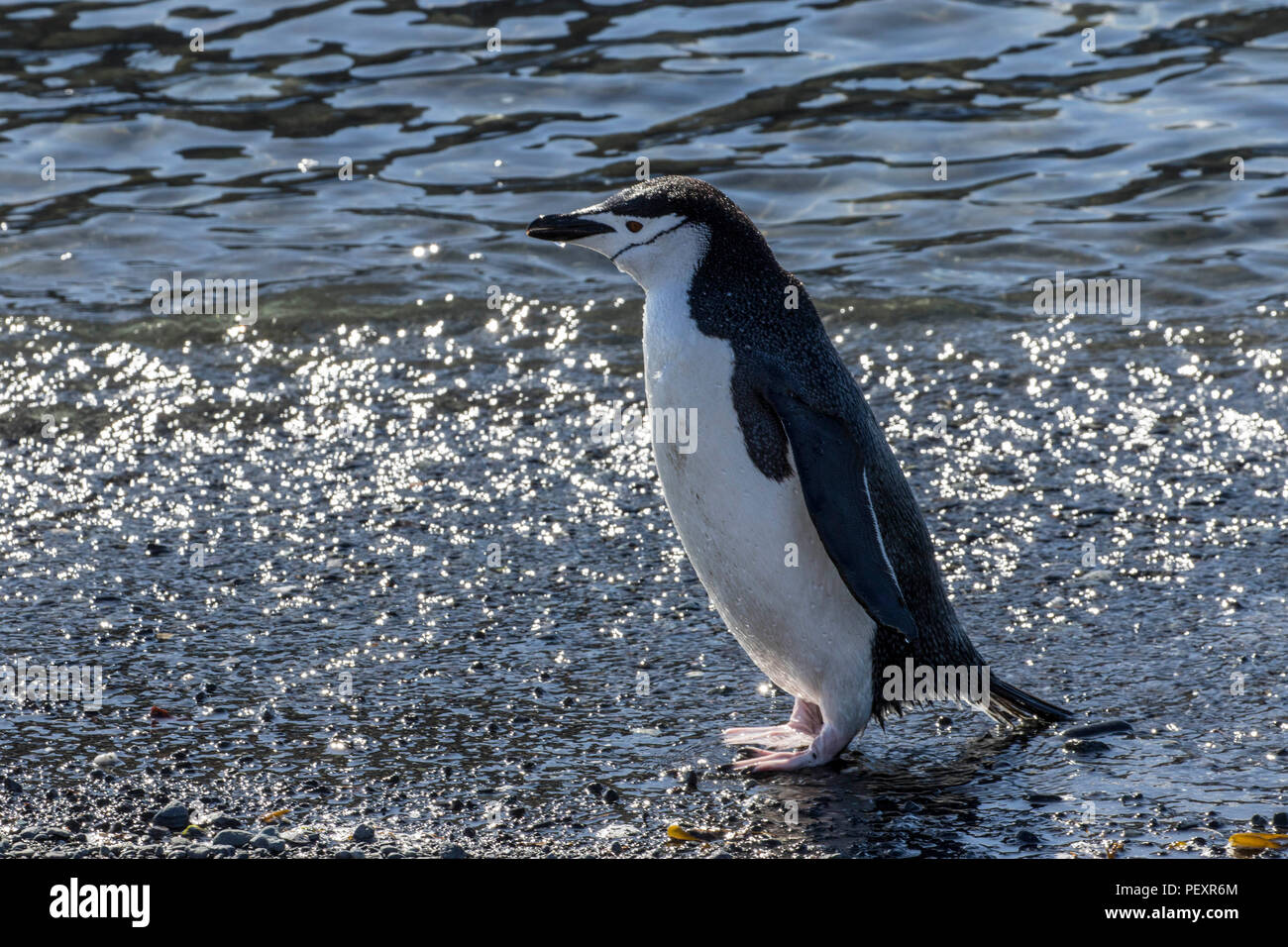 Chinstrap penguin rookery on the South Shetland Islands - Stock Image