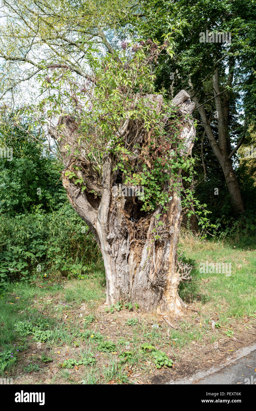 Dead tree trunk still supporting life - Stock Image