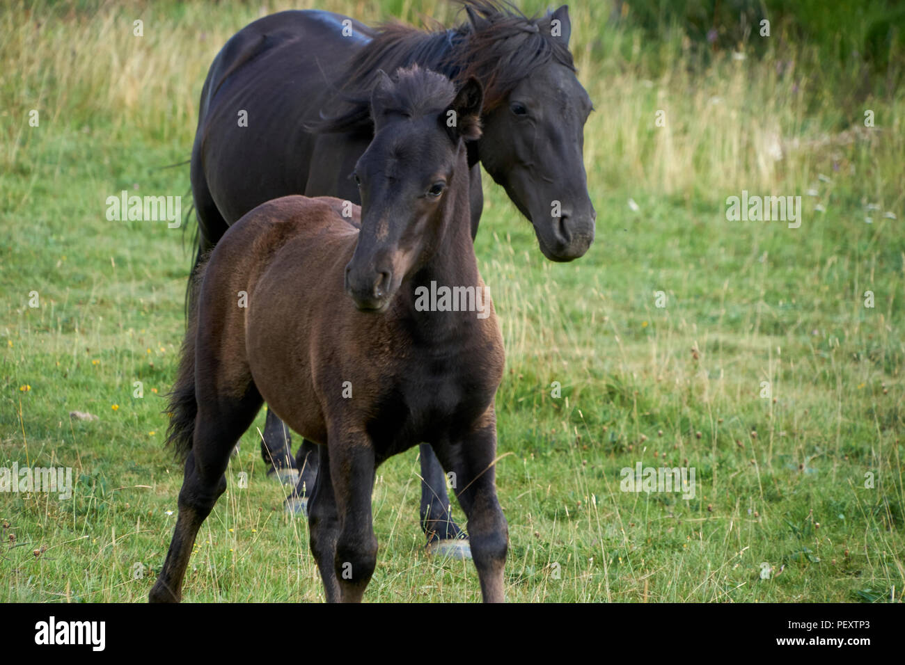 Pottoka mare and foal, wild horse reintroduction for ecological restoration and rewilding, conservation - Stock Image