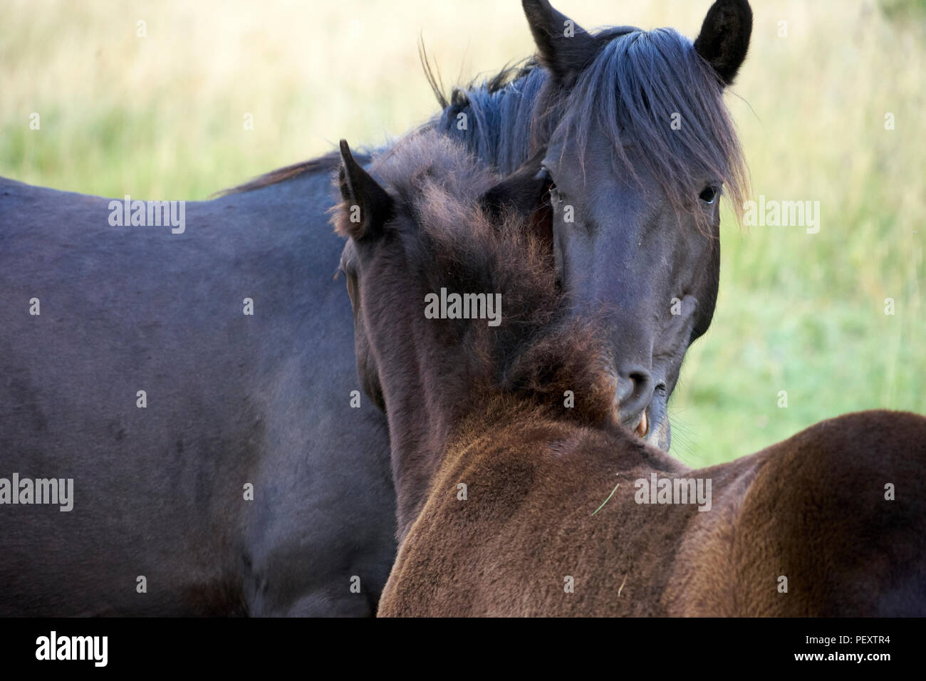 Pottoka, Europe's wildest horses, reintroduction for ecological restoration and rewilding in northern Spain - Stock Image