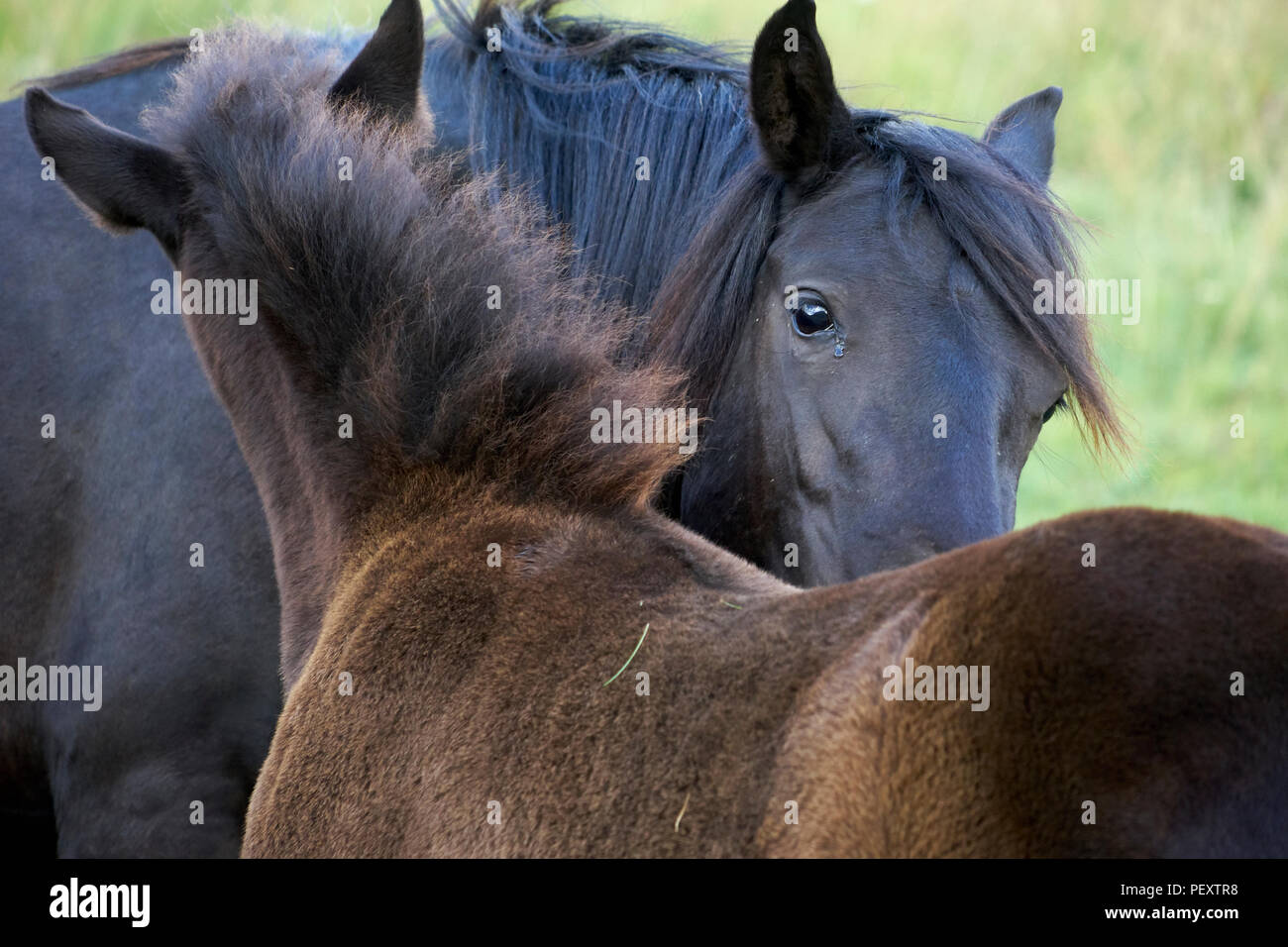 Wild horse reintroduction for ecological restoration and rewilding horses, reintroduction for ecological restoration - Stock Image