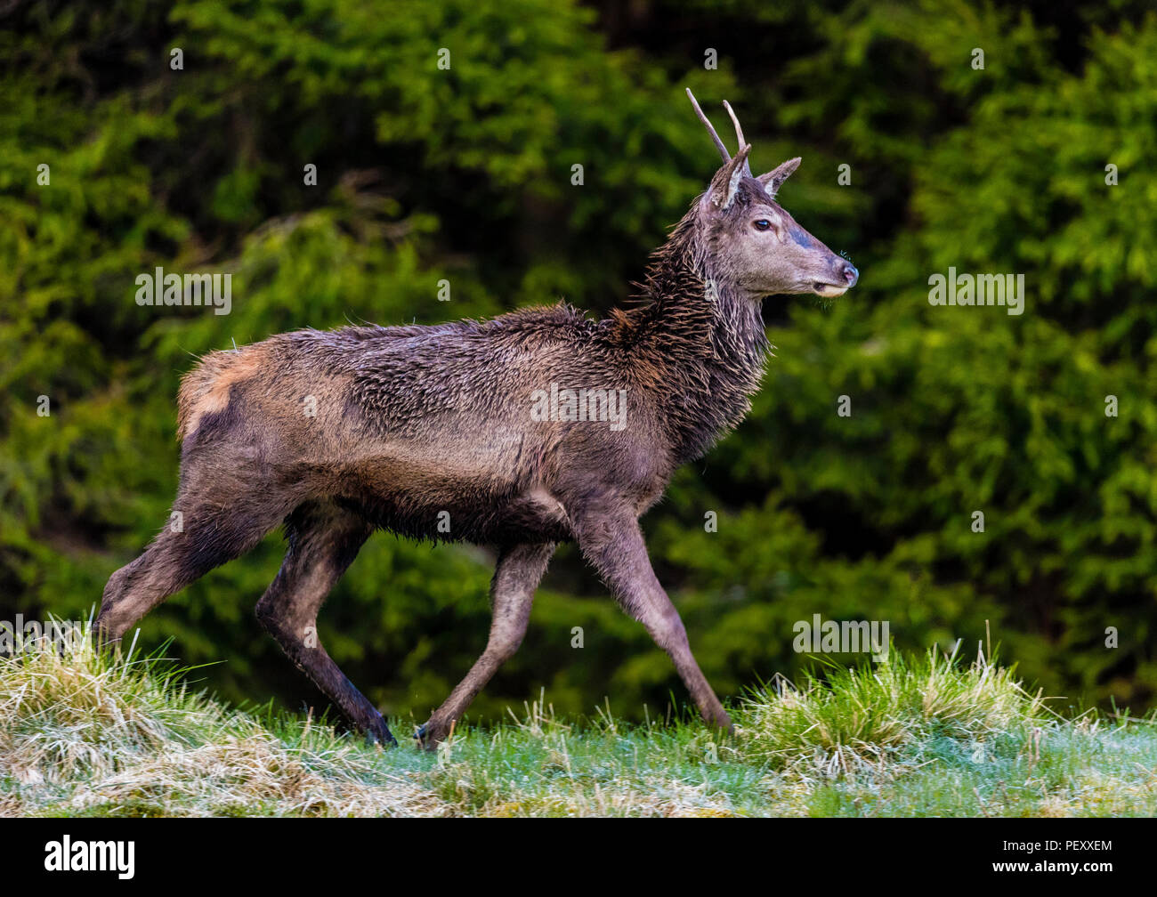 A young deer stag - Stock Image
