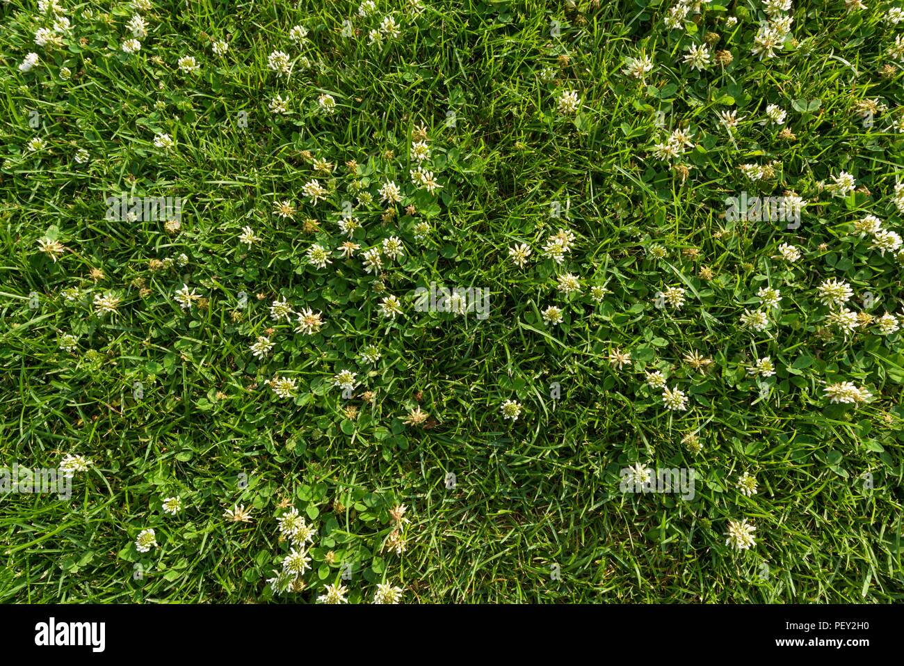 Abstract texture background natural bright green grass with white abstract texture background natural bright green grass with white flowers of clover close up lawn carpet top view mightylinksfo