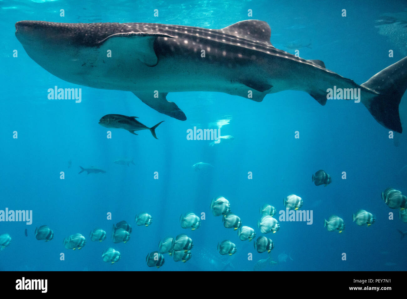 Massive whale shark in the Ocean Voyager tank (containing 6.3-million U.S. gallons of water) at the Georgia Aquarium in Atlanta, Georgia. (USA) - Stock Image