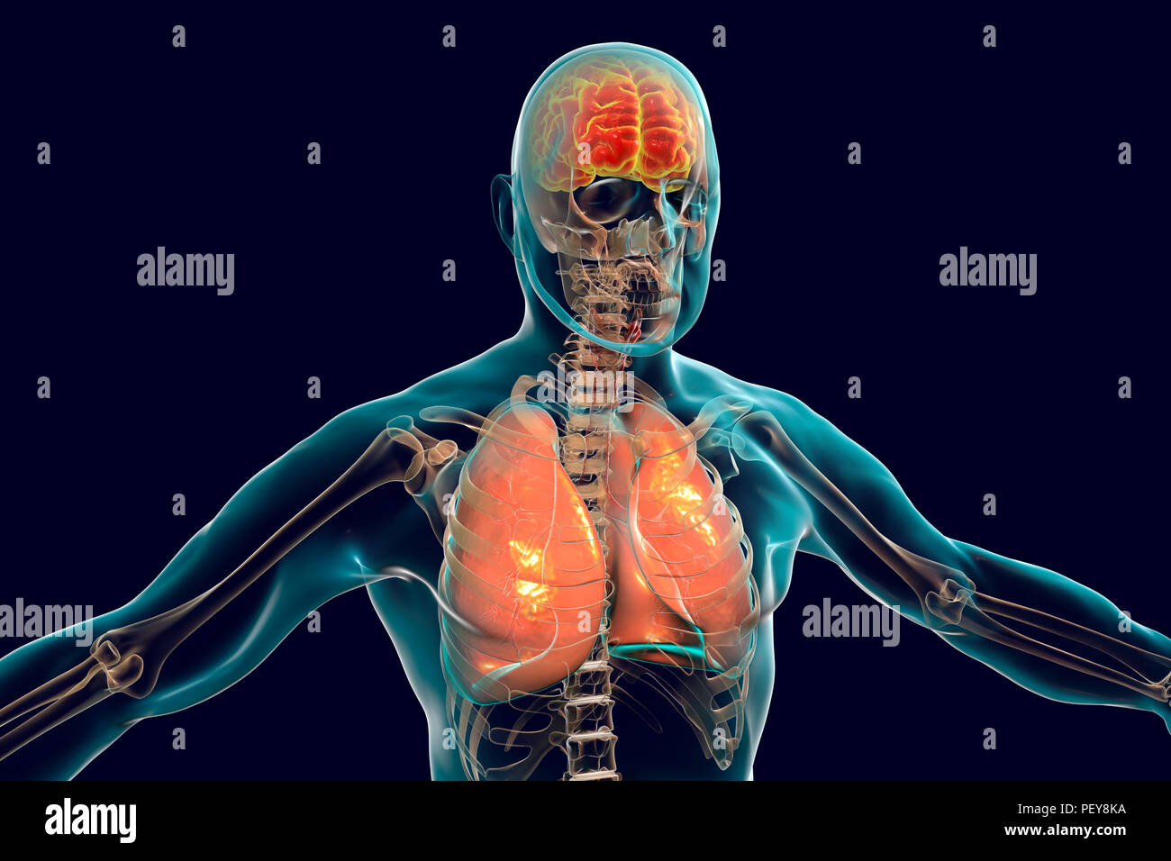 Brain and lungs inside human body, computer illustration. - Stock Image
