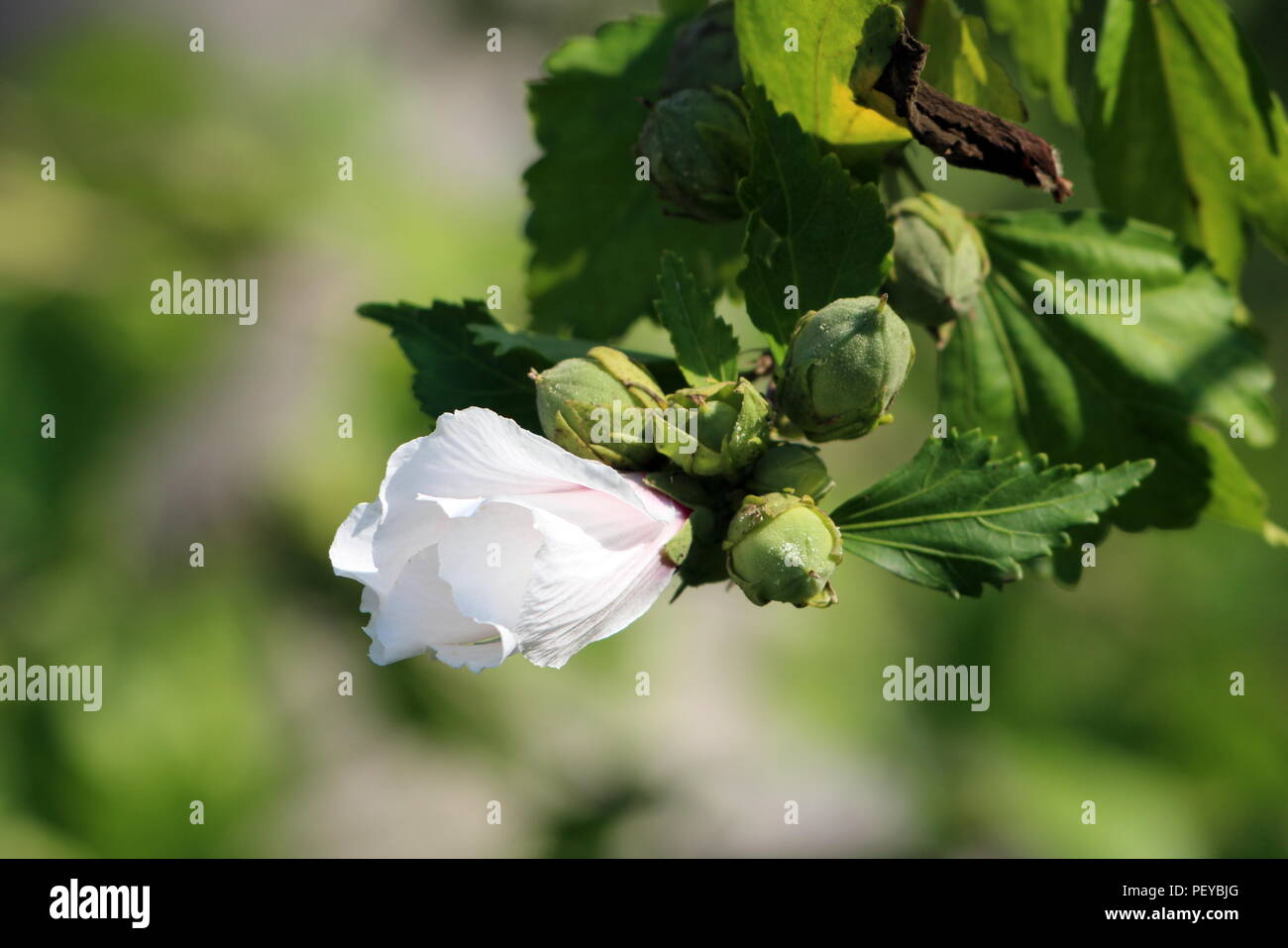 Hibiscus syriacus Red Heart or Rose of Sharon Red Heart variety flowering hardy deciduous shrub plant with single partially blooming white flower next Stock Photo