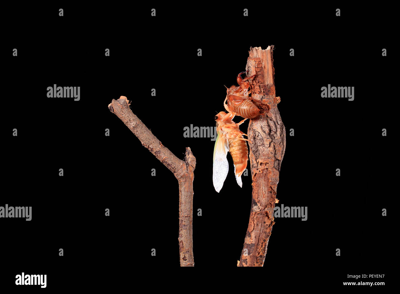 A cicada metamorphoses on a branch, A cicada is molting on a branch,black background, - Stock Image